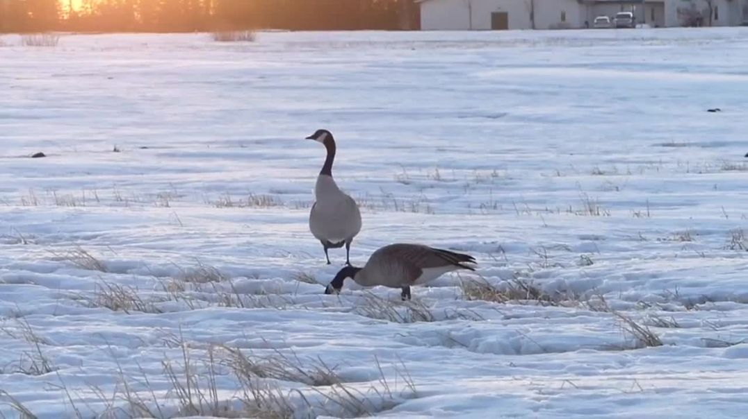 Canada Geese get a safety tip from Rogue